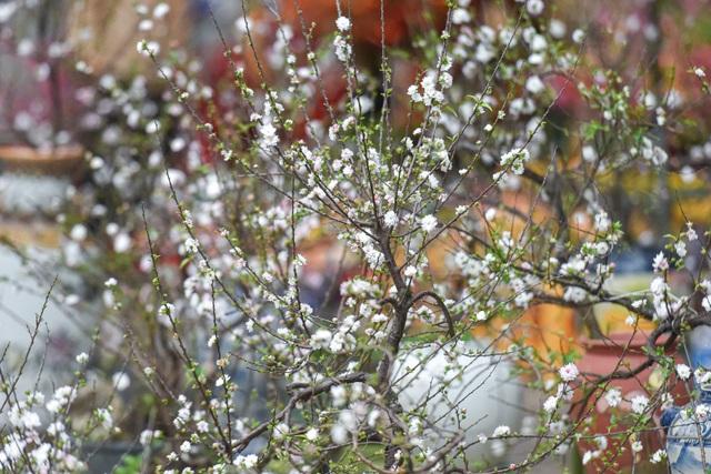 Ngắm những cây nhất chi mai, giá bạc triệu ngày cận Tết - 9