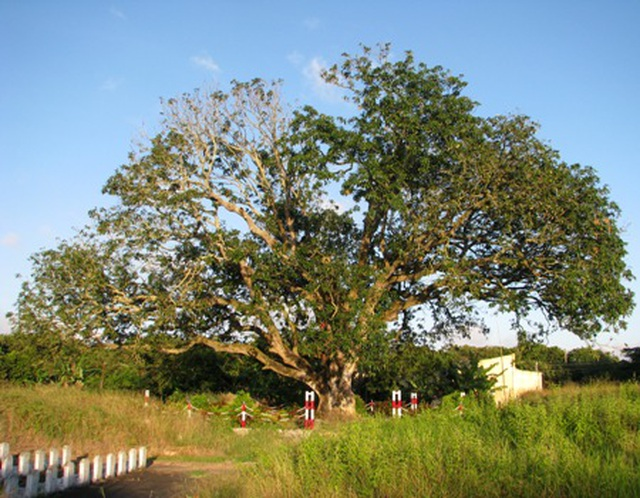 An old mango for 300 years in the land of Prince Bac Lieu 5 people hugging the tree's trunk not all - 2