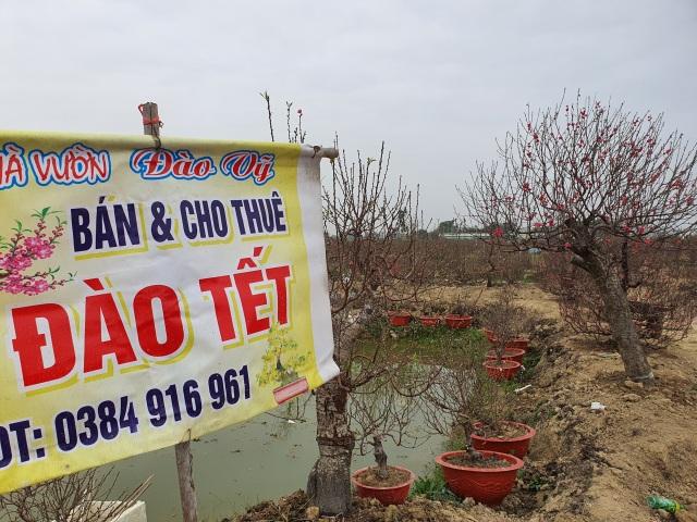 Hải Dương: Chiều 29 Tết đào nở đỏ ruộng, cả làng trắng tay vì Covid-19 - 3