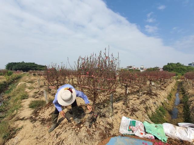 Hải Dương: Chiều 29 Tết đào nở đỏ ruộng, cả làng trắng tay vì Covid-19 - 8