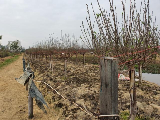 Hải Dương: Chiều 29 Tết đào nở đỏ ruộng, cả làng trắng tay vì Covid-19 - 1