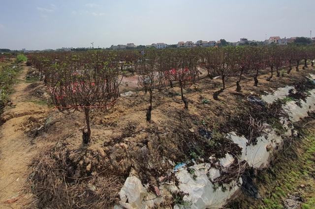 Hải Dương: Chiều 29 Tết đào nở đỏ ruộng, cả làng trắng tay vì Covid-19 - 4