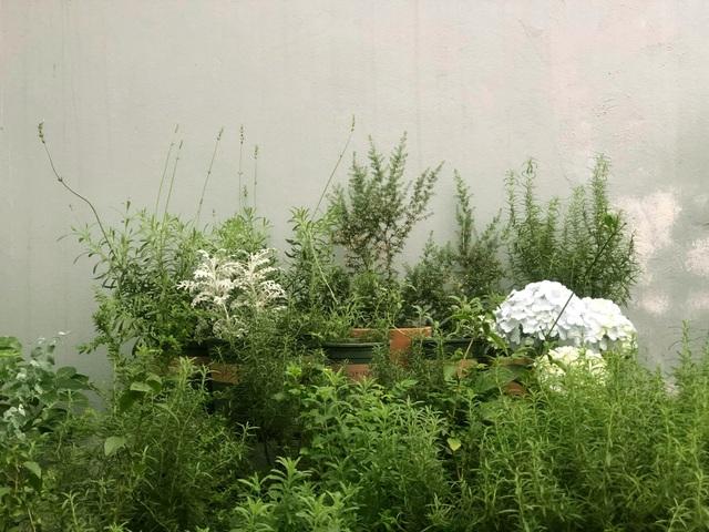 Khu vườn trăm loài thảo mộc xanh tốt trên sân thượng của mẹ đảm Hà thành - 12