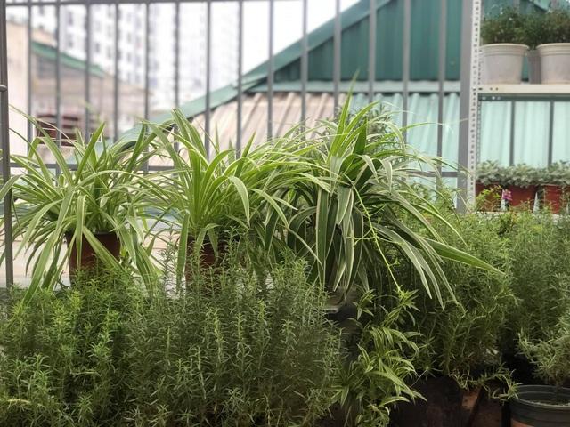 Khu vườn trăm loài thảo mộc xanh tốt trên sân thượng của mẹ đảm Hà thành - 7