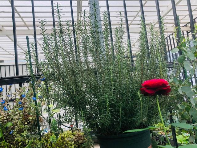 Khu vườn trăm loài thảo mộc xanh tốt trên sân thượng của mẹ đảm Hà thành - 9