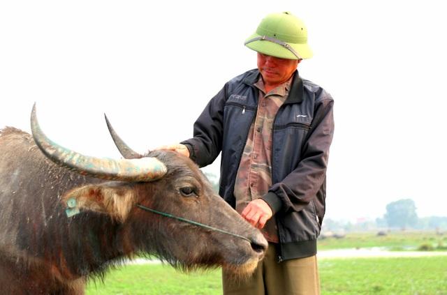 Thợ chăn trâu thịt, 365 ngày/năm đều ở ngoài đồng... - 1