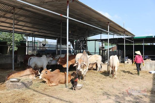 Cả làng Xứ Nghệ xuất ngoại tầm trâu Thái Lan bán sang Trung Quốc - 2