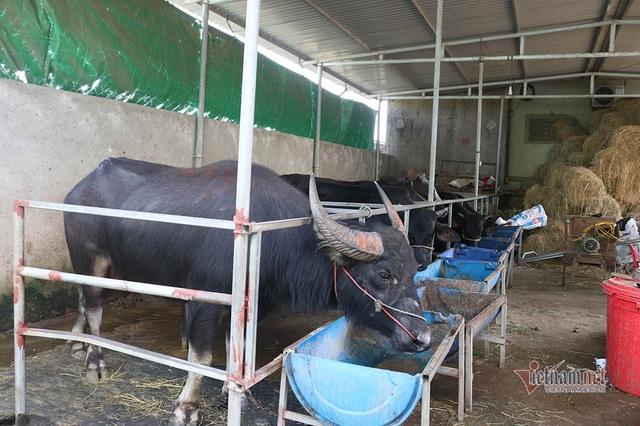 Cả làng Xứ Nghệ xuất ngoại tầm trâu Thái Lan bán sang Trung Quốc - 8