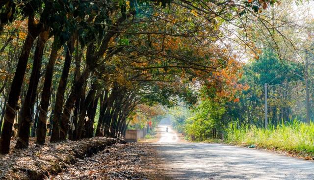 Mê mẩn mùa cao su thay lá ở Bình Phước - 4