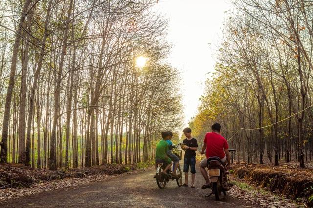 Mê mẩn mùa cao su thay lá ở Bình Phước - 6