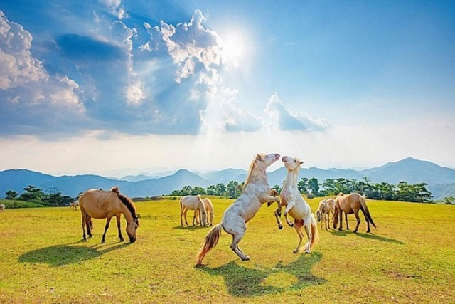 Thủ phủ nuôi ngựa lớn nhất Việt Nam với hơn 1.200 con bạch mã thuần chủng - 2