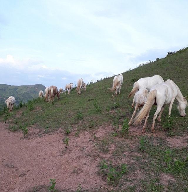 Thủ phủ nuôi ngựa lớn nhất Việt Nam với hơn 1.200 con bạch mã thuần chủng - 4