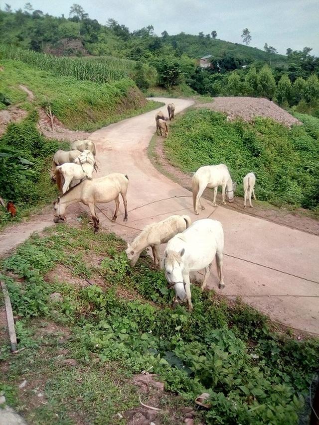 Thủ phủ nuôi ngựa lớn nhất Việt Nam với hơn 1.200 con bạch mã thuần chủng - 5