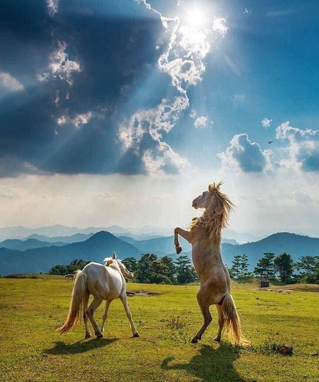Thủ phủ nuôi ngựa lớn nhất Việt Nam với hơn 1.200 con bạch mã thuần chủng - 6