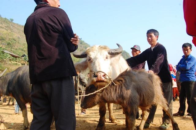 Đầu năm Tân Sửu đi chợ trâu lớn nhất vùng biên viễn Tây Bắc - 2