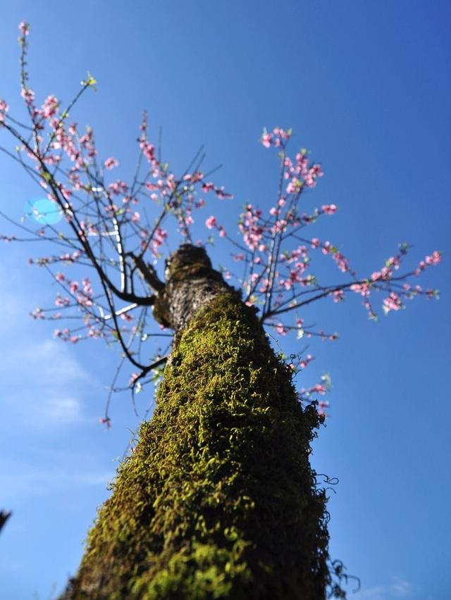 Rực rỡ sắc hoa đào núi tuyệt đẹp ở Sa Pa  - 5
