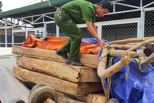 Tàn phá rừng Pơ mu ngay trong Tết, lâm tặc dùng trâu kéo gỗ ra khỏi rừng - 2