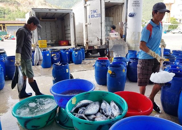 Khánh Hòa: Ngư dân trúng đậm lộc biển, thu về 100-200 triệu đồng đầu xuân - 7