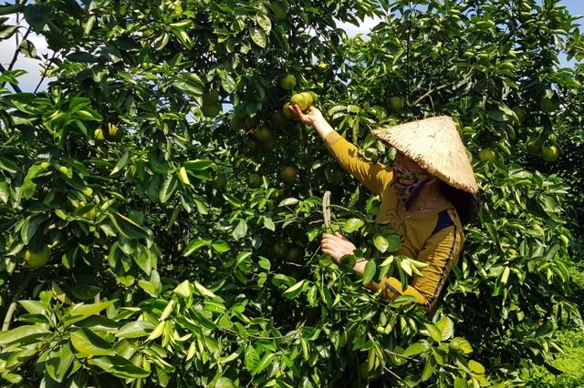Phú Yên: Trồng cam trên vùng đất đỏ, lão nông thu hơn nửa tỷ đồng/năm - 2