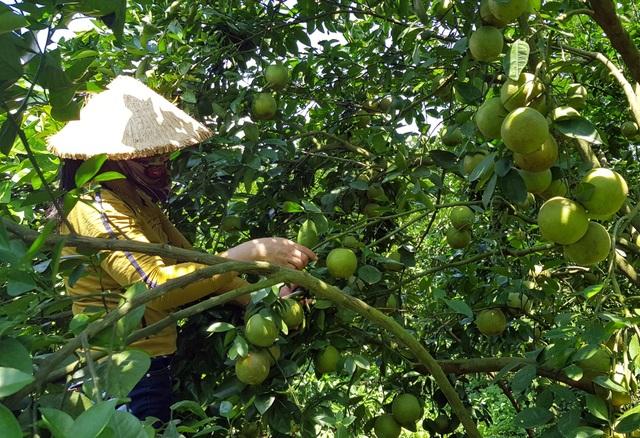 Phú Yên: Trồng cam trên vùng đất đỏ, lão nông thu hơn nửa tỷ đồng/năm - 3