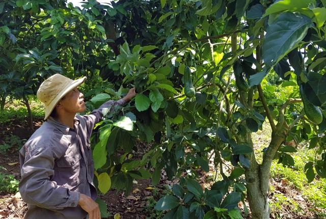 Phú Yên: Trồng cam trên vùng đất đỏ, lão nông thu hơn nửa tỷ đồng/năm - 4