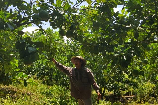 Phú Yên: Trồng cam trên vùng đất đỏ, lão nông thu hơn nửa tỷ đồng/năm - 1
