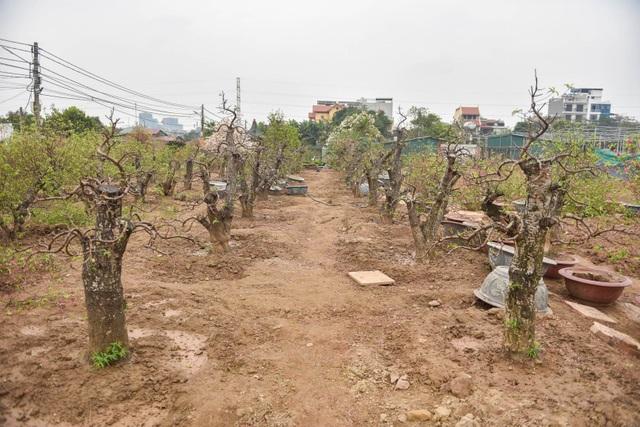 Chủ vườn Nhật Tân tái sinh đào sau Tết Tân Sửu - 6