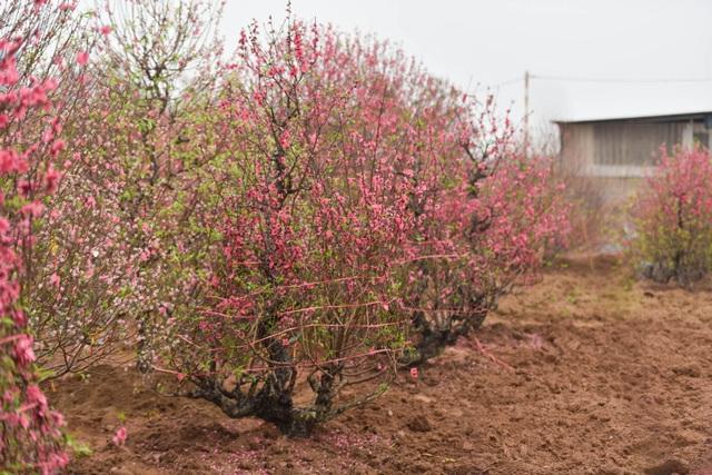 Chủ vườn Nhật Tân tái sinh đào sau Tết Tân Sửu - 9