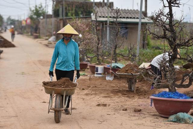 Chủ vườn Nhật Tân tái sinh đào sau Tết Tân Sửu - 10