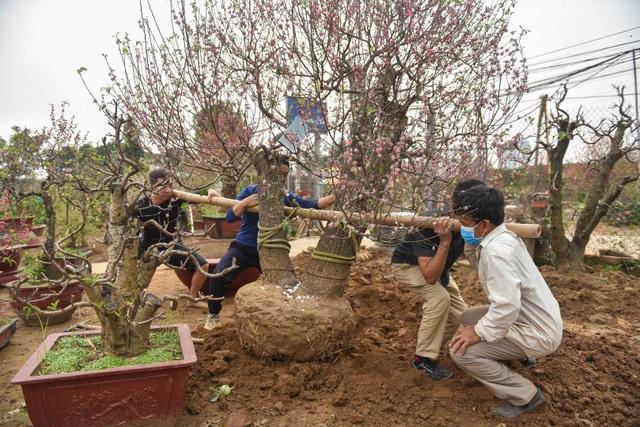 Chủ vườn Nhật Tân tái sinh đào sau Tết Tân Sửu - 1