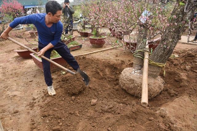 Chủ vườn Nhật Tân tái sinh đào sau Tết Tân Sửu - 2