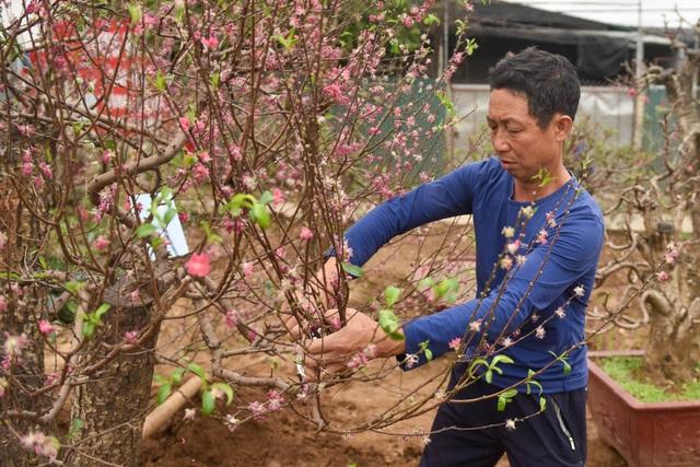 Chủ vườn Nhật Tân tái sinh đào sau Tết Tân Sửu - 3