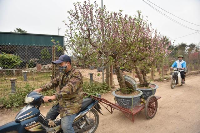 Chủ vườn Nhật Tân tái sinh đào sau Tết Tân Sửu - 7