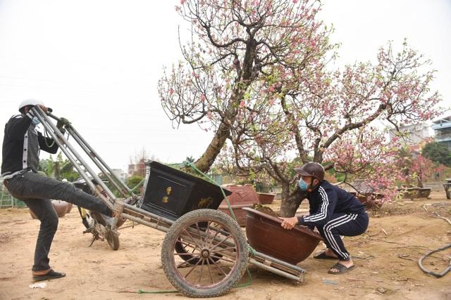 Chủ vườn Nhật Tân tái sinh đào sau Tết Tân Sửu - 8