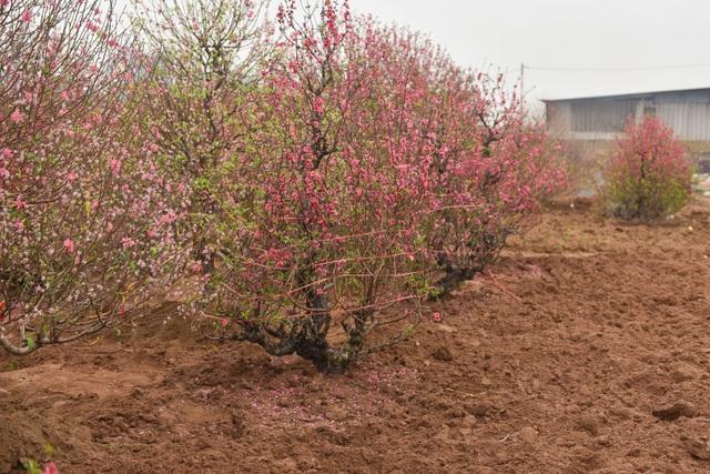 Chủ vườn Nhật Tân tái sinh đào sau Tết Tân Sửu - 5