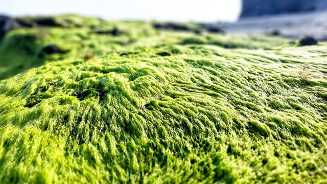 The enchanting beauty of the moss field in Ly Son - 2
