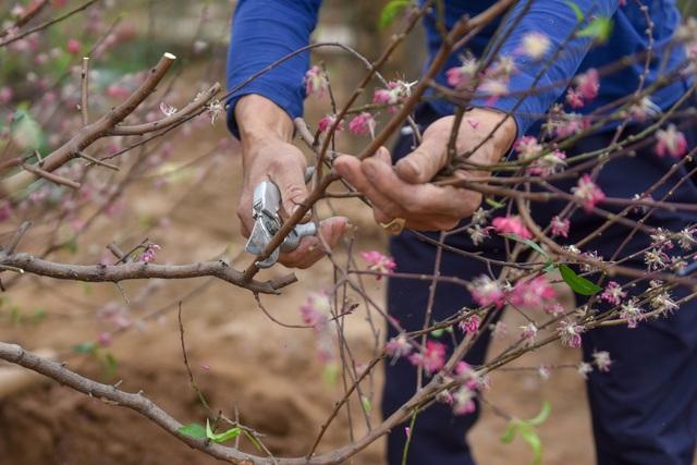 Chủ vườn Nhật Tân tái sinh đào sau Tết Tân Sửu - 4