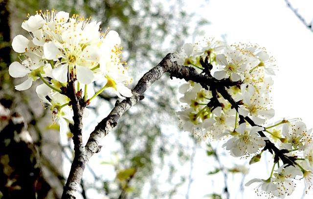 Lên cổng trời Mường Lống ngắm hoa mận bung nở đầu xuân - 15