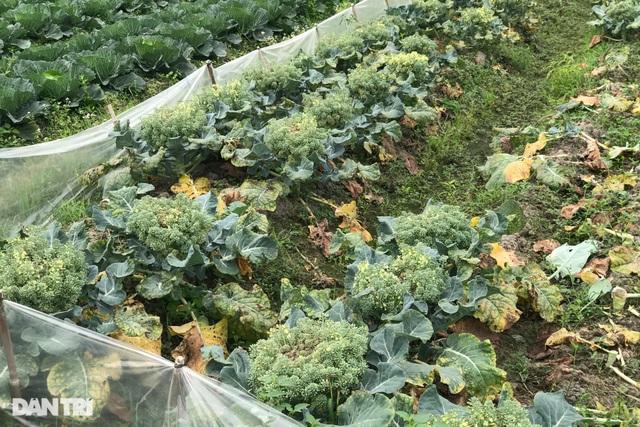 Rau củ thối rữa vứt đầy ruộng, nông dân Chí Linh nợ cả tỷ đồng tiền vay vốn - 7