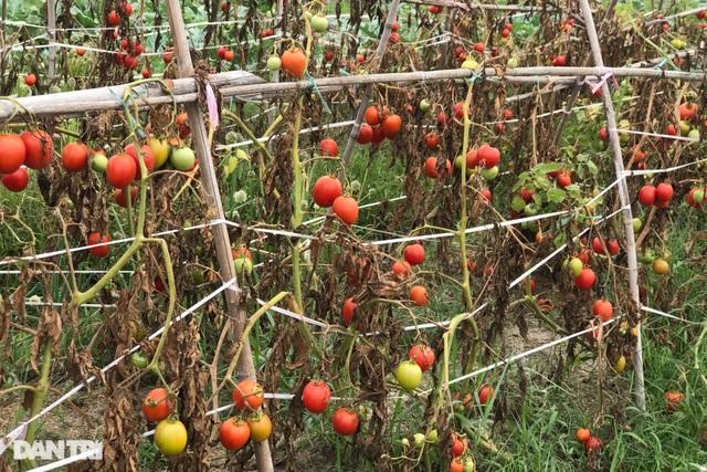 Rau củ thối rữa vứt đầy ruộng, nông dân Chí Linh nợ cả tỷ đồng tiền vay vốn - 9