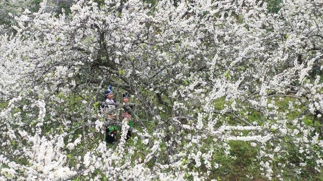 Lên cổng trời Mường Lống ngắm hoa mận bung nở đầu xuân - 12