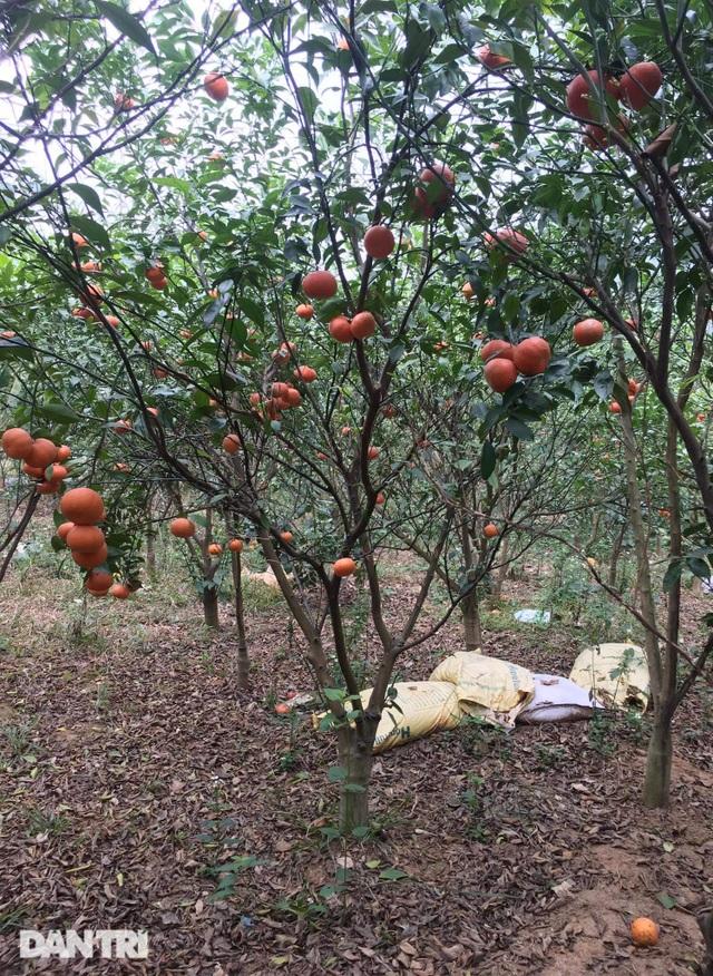 Rau củ thối rữa vứt đầy ruộng, nông dân Chí Linh nợ cả tỷ đồng tiền vay vốn - 2