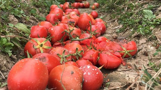 Xót xa cảnh súp lơ nở hoa, cà chua thối rữa đầy đồng giữa tâm dịch Hải Dương - 3