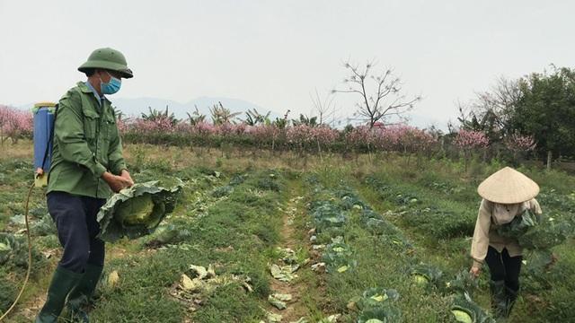 Xót xa cảnh súp lơ nở hoa, cà chua thối rữa đầy đồng giữa tâm dịch Hải Dương - 6