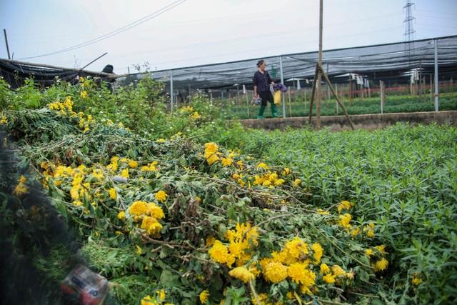 Ế ẩm vì dịch, hoa chết khô giữa đồng, bị vứt bỏ như rác - 6