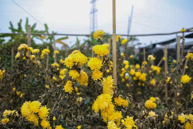 Ế ẩm vì dịch, hoa chết khô giữa đồng, bị vứt bỏ như rác - 1