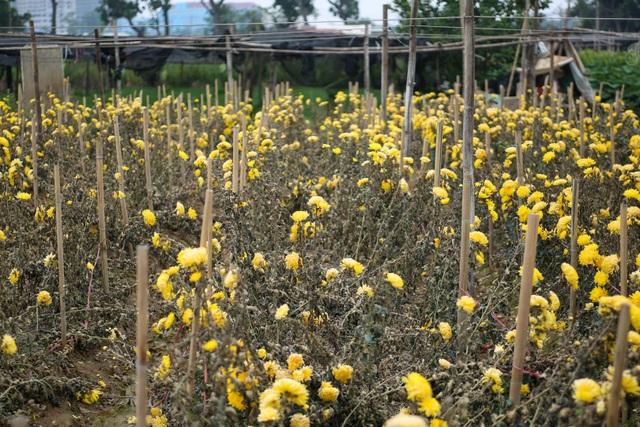 Ế ẩm vì dịch, hoa chết khô giữa đồng, bị vứt bỏ như rác - 8