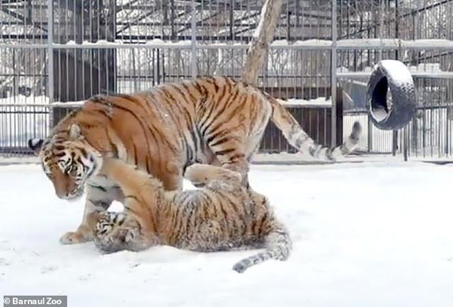 Kỳ lạ con hổ phát ra âm thanh kỳ lạ như tiếng chim hót - 3