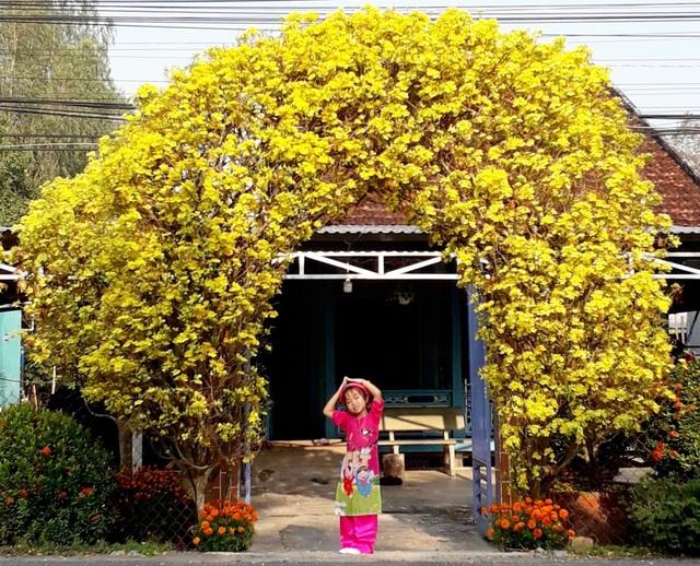 Độc đáo cổng rào làm bằng 2 cây mai vàng 30 năm tuổi - 3