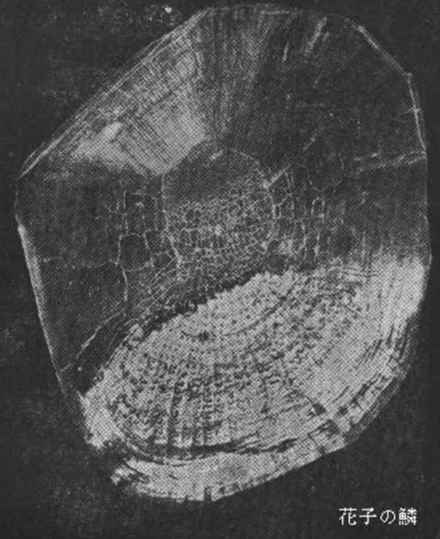 Con cá Koi già nhất thế giới 226 tuổi - 2